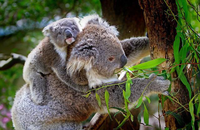 copine de portage de bébé koala